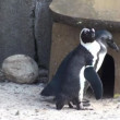Pair of African penguins — Stockvideo