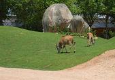 Antelopes — ストック写真