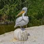 Pelican — Stock Photo #31633339