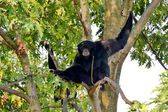 Zoom bioparco Turin Italy. Siamang gibbon — Stock Photo