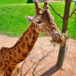 Giraffe. Park. animal. mammal. savannah. africa. high. neck. — Stock Photo
