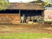 Farm. animal. Donkeys — Stock Photo
