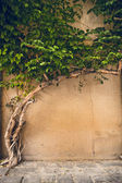 Cement wall and tree ivy — Stock Photo