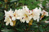Rhododendron — Stock Photo
