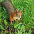 Squirrel in the park — Stock fotografie