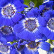 Flowers: Blue and white Cineraria — Stock Photo