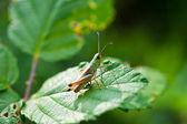 Grasshopper macro in green nature or in the garden — Stock Photo