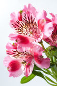 Pink flowers alstroemeria — Stock Photo