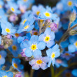 Blue forget-me-not flowers — Stock Photo #22252073