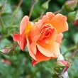 Bunch of beautiful amber roses in garden after rain — Stock Photo