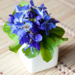 Wood violets flowers in vase — Stock Photo