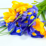 Bouquet of a irises — Stock Photo