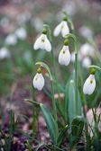 Snowdrops against old leaves in spring wood — Stock Photo