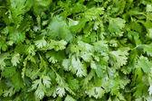 Fresh cilantro — Stock Photo