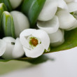 Snowdrop flowers — Stock Photo #22483933