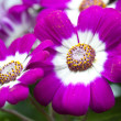 Flowers: Pink and white Cineraria — Stock Photo