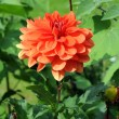 Orange dahlia flower - Stock Photo