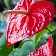 Red flower called anturium is blossoming in botanic garde - Photo