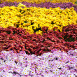 close-up of bright colorful chrysanthemums — Stock Photo