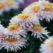 Beautiful of Chrysanthemum flowers - Stock Photo