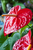 Red flower called anturium is blossoming in botanic garde — Stock Photo