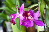 Orchid: Cattleya labiata — Stock Photo