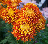 Beautiful orange big chrysanthemums in autumn garden — Stock Photo