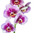 Phalaenopsis Dream Diamond isolated on white background - Stock Photo
