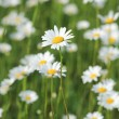 Stock Photo: The field of daisies