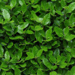 Wall of green leaves — Stock Photo