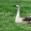 Royalty-Free Stock Photo: Goose on the grass