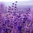 Lavender Flowers — Stock Photo #23091420