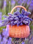 Basket with a lavender — Stock Photo