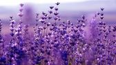 Lavender Flowers — Stockfoto