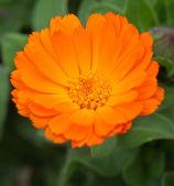 Flor de laranjeira — Fotografia Stock