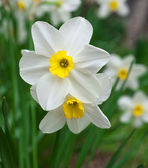 Narcissus in Chinese New Year — Stock Photo