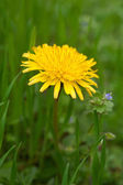 Yellow dandelion flower with leaves in green grass — Stock Photo