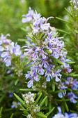 Domaine de beau romarin en pleine floraison — Photo