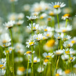 The field of daisies — 图库照片