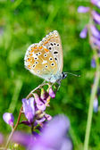 Butterfly in natural habitat (plebejus argus) — Stockfoto