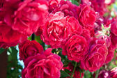 Bunch of beautiful red roses in garden — Stock Photo