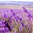 Lavender Flowers — Foto Stock #27208899