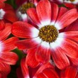 Flowers: Cineraria — Stock Photo