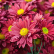 Beautiful of Chrysanthemum flowers — Stock Photo