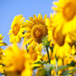 Sunflowers field in summer, in Central Italy, under blue sky — Stock Photo #40195433