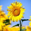Sunflowers field in summer, in Central Italy, under blue sky — Stock Photo #40195435