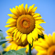 Sunflowers field in summer, in Central Italy, under blue sky — Stock Photo #40195439