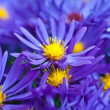 Small garden Astrflowers. Group of Alpine asters (Aster Alpinus) — Stockfoto #40196207