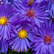 Small garden Astrflowers. Group of Alpine asters (Aster Alpinus) — Stockfoto #40196211