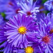 Small garden Astrflowers. Group of Alpine asters (Aster Alpinus) — Stockfoto #40196215